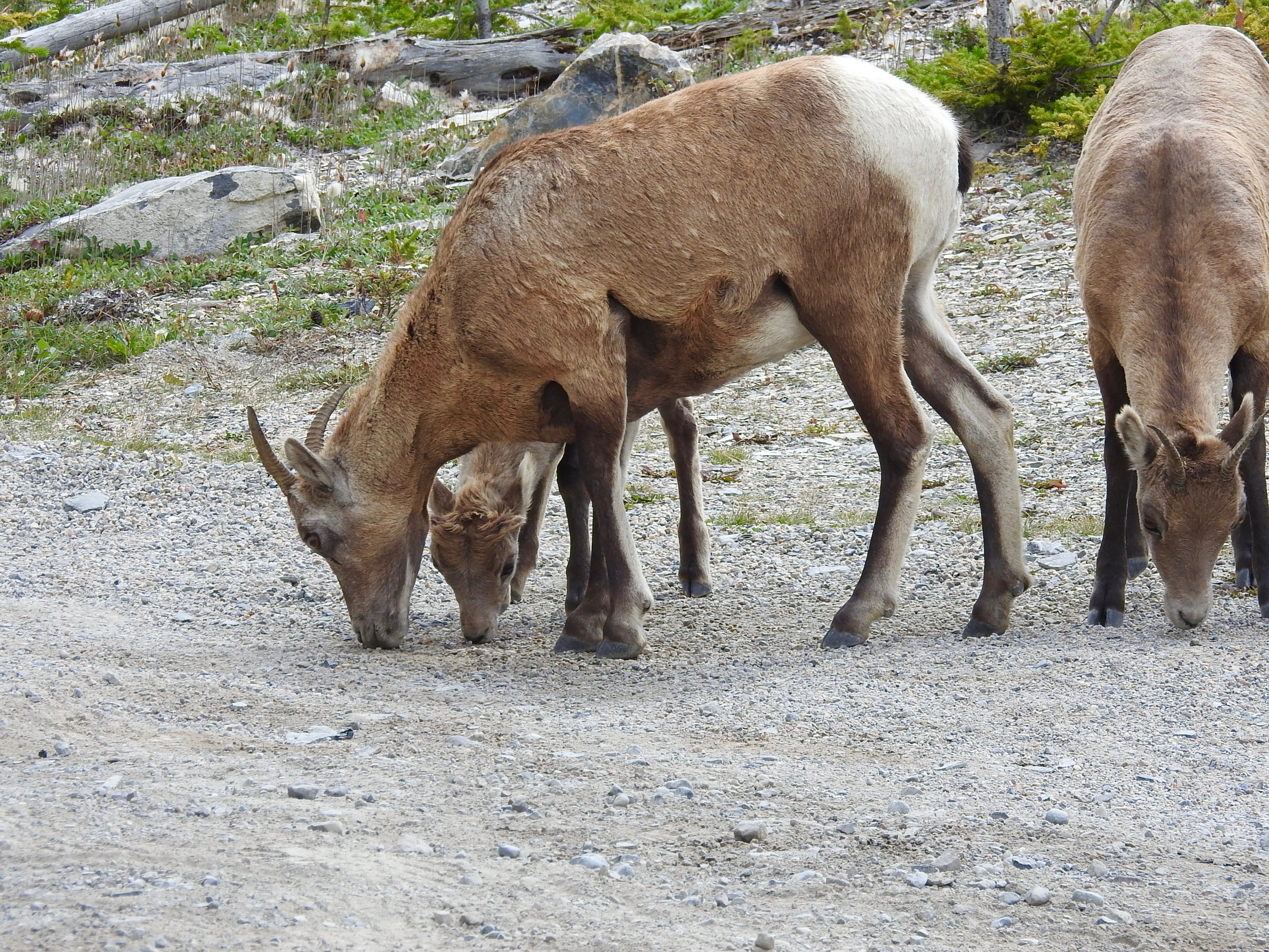 Bighorn Ewe & Lamb