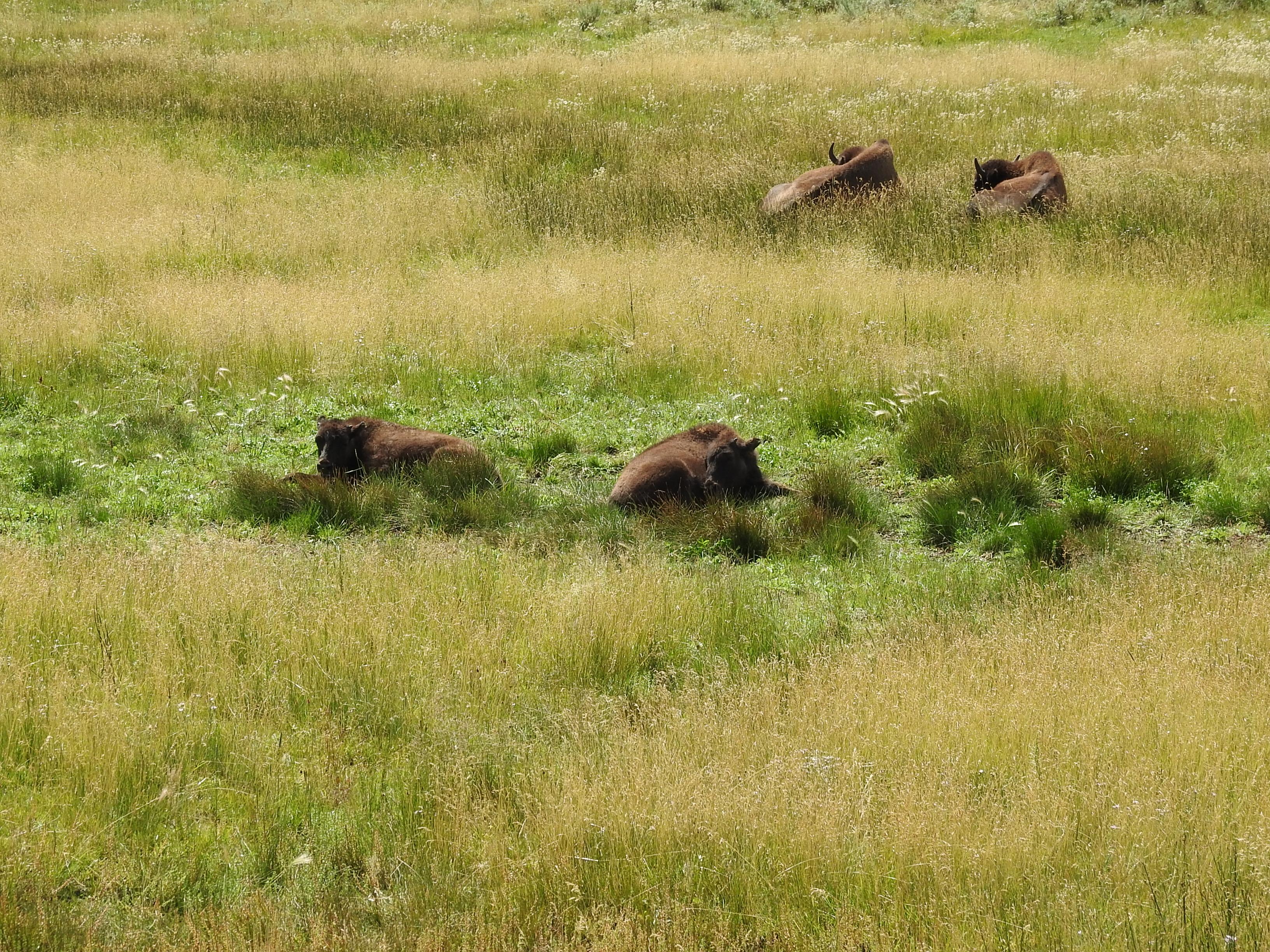 Bison Babies.jpg