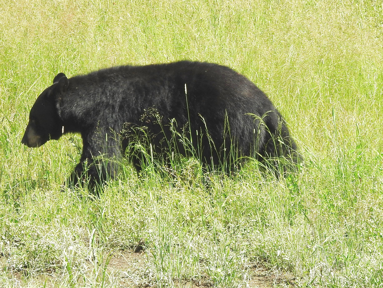 Black Bear SS.jpg