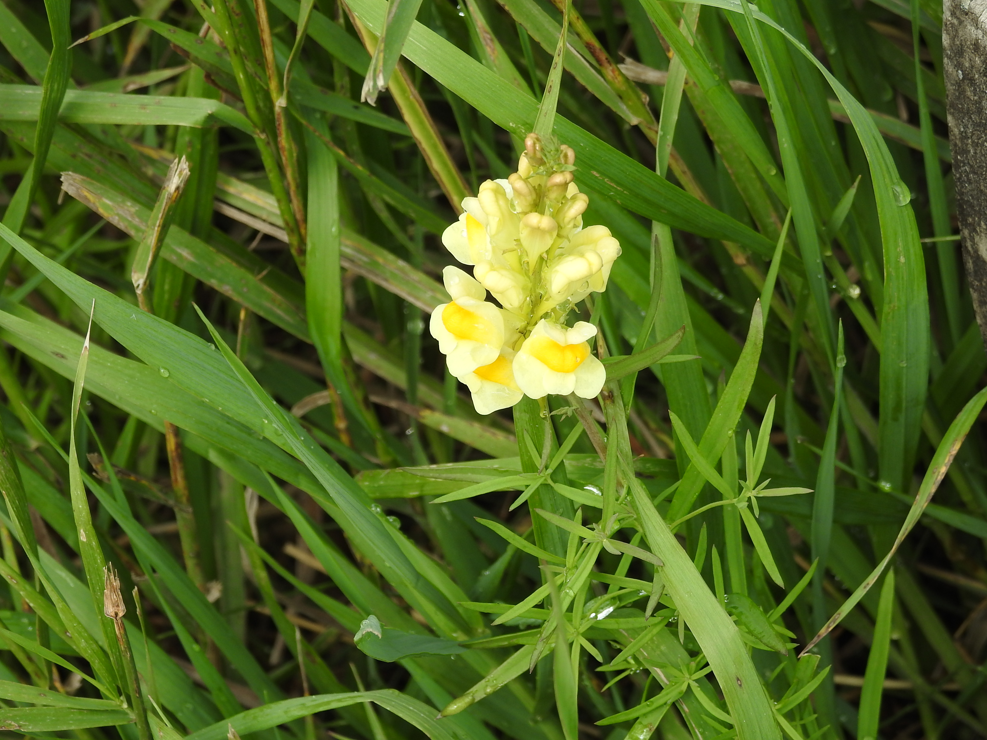 Butter and Eggs (Linaria Vulgaris)