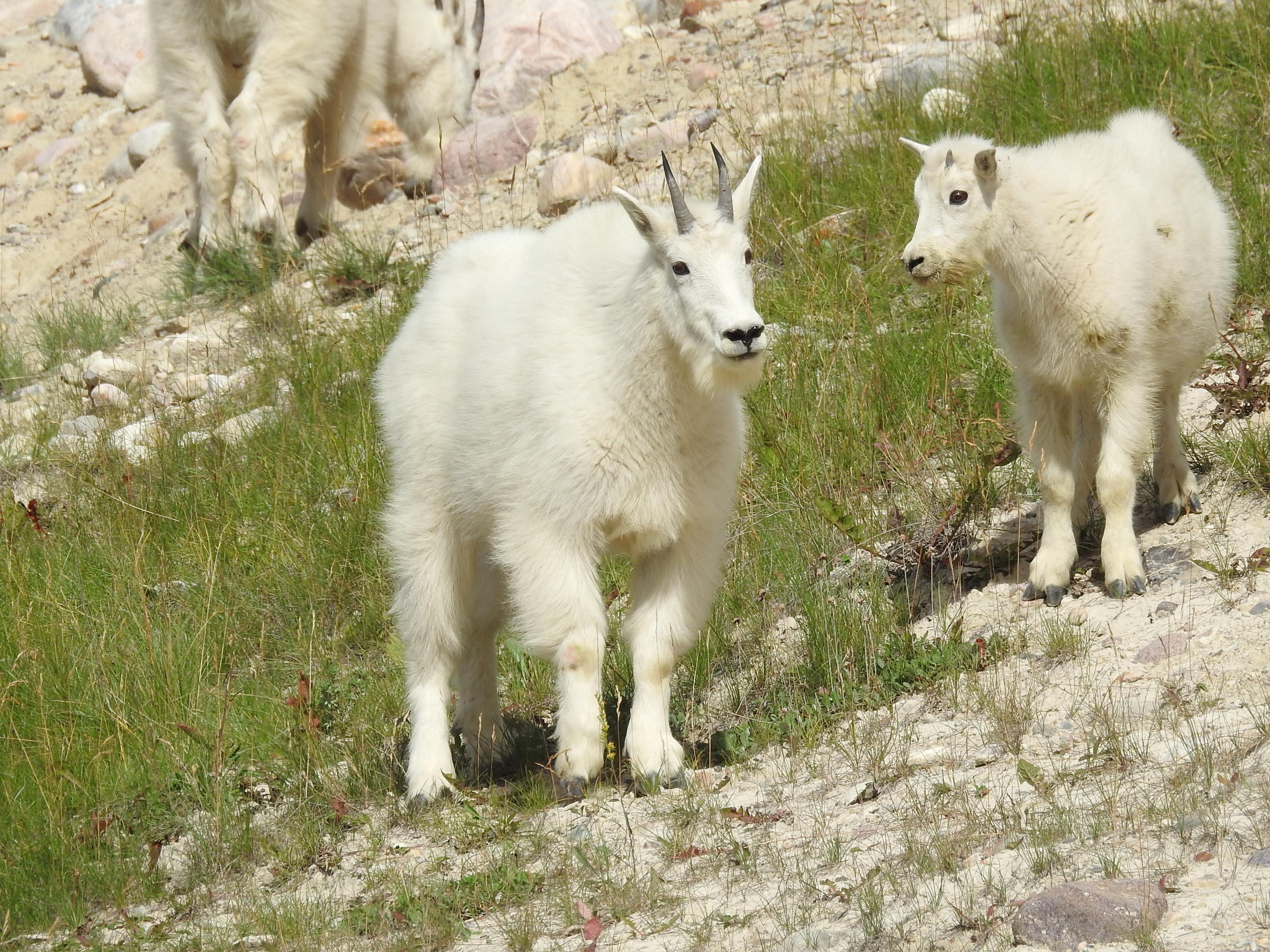 Goats -Momma & kid