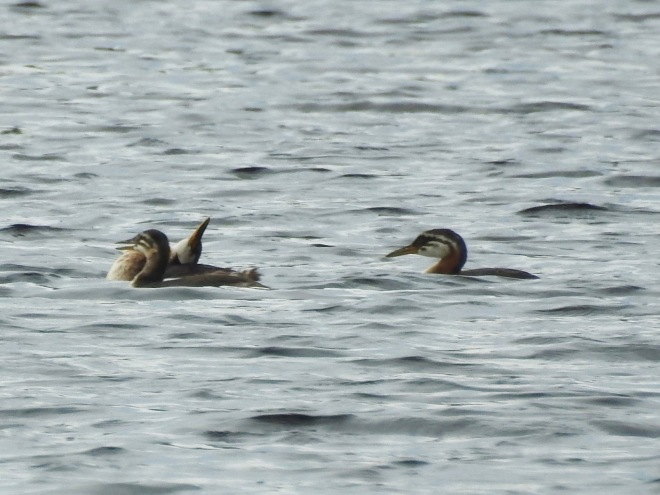 Juvenile Red-necked Grebes Cruising Flathead L.