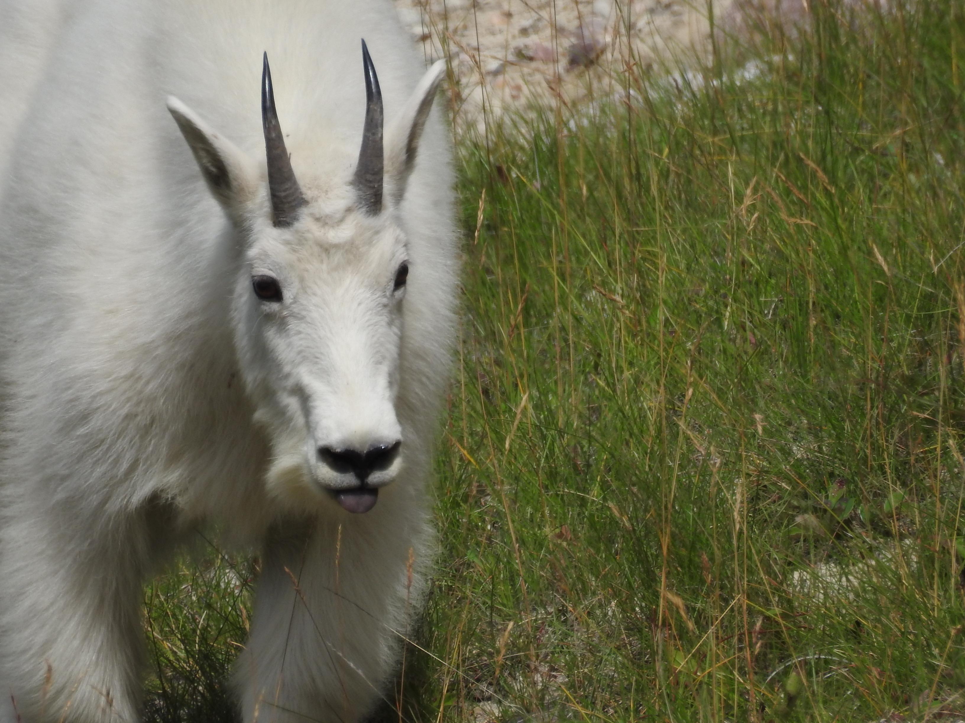Mountain Goat 3