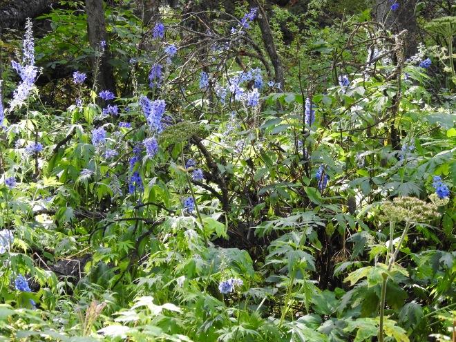 Sierra Larkspur (Delphinium glaucum)