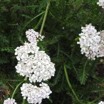 Yarrow, (Achillea millefolium)
