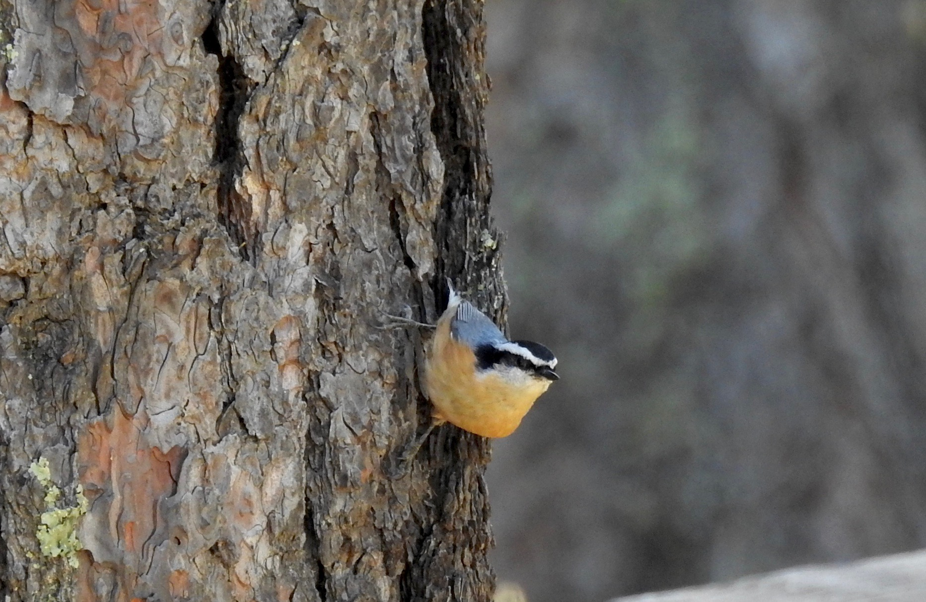 RB Nuthatch