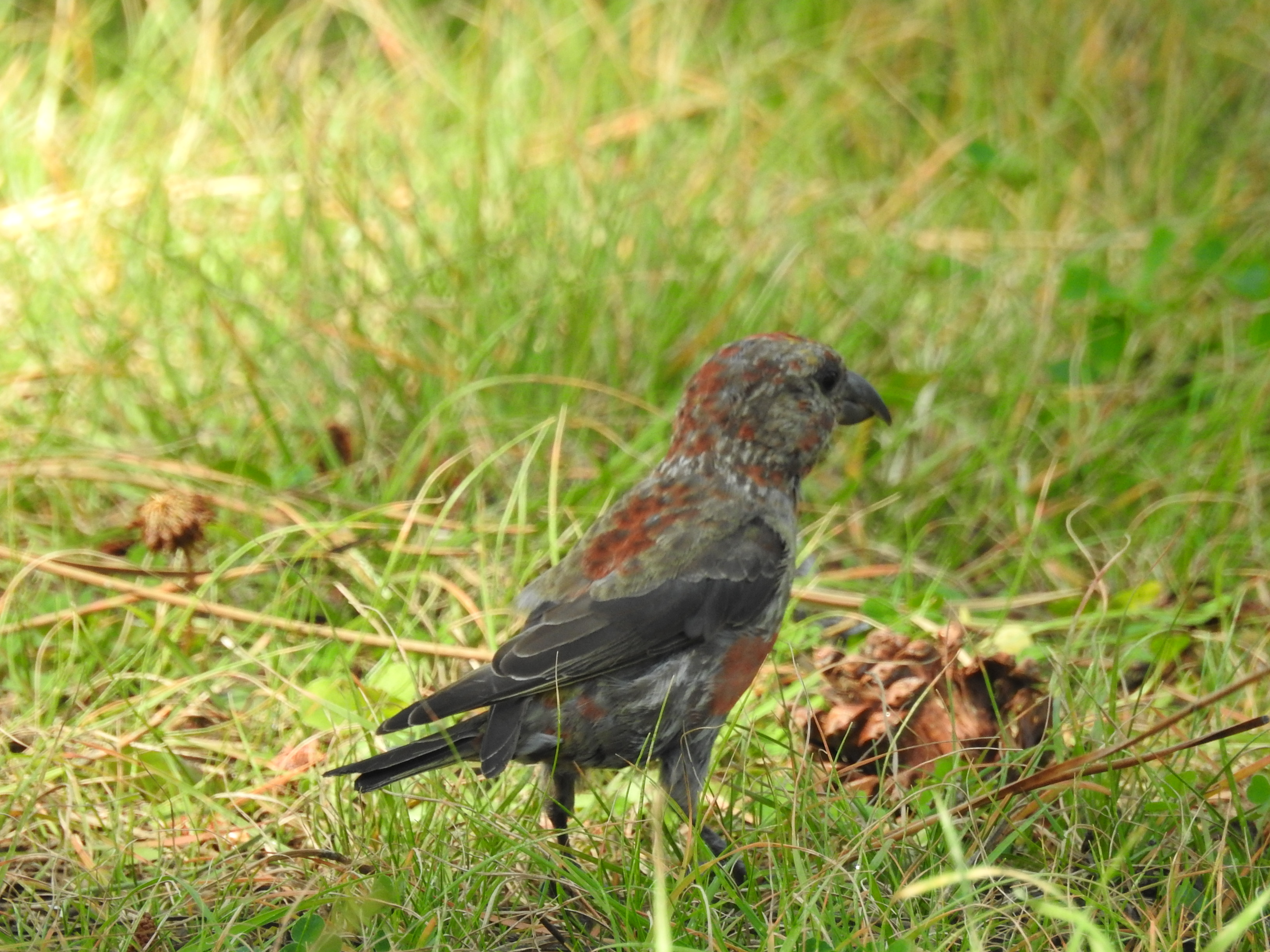 Red Crossbill2