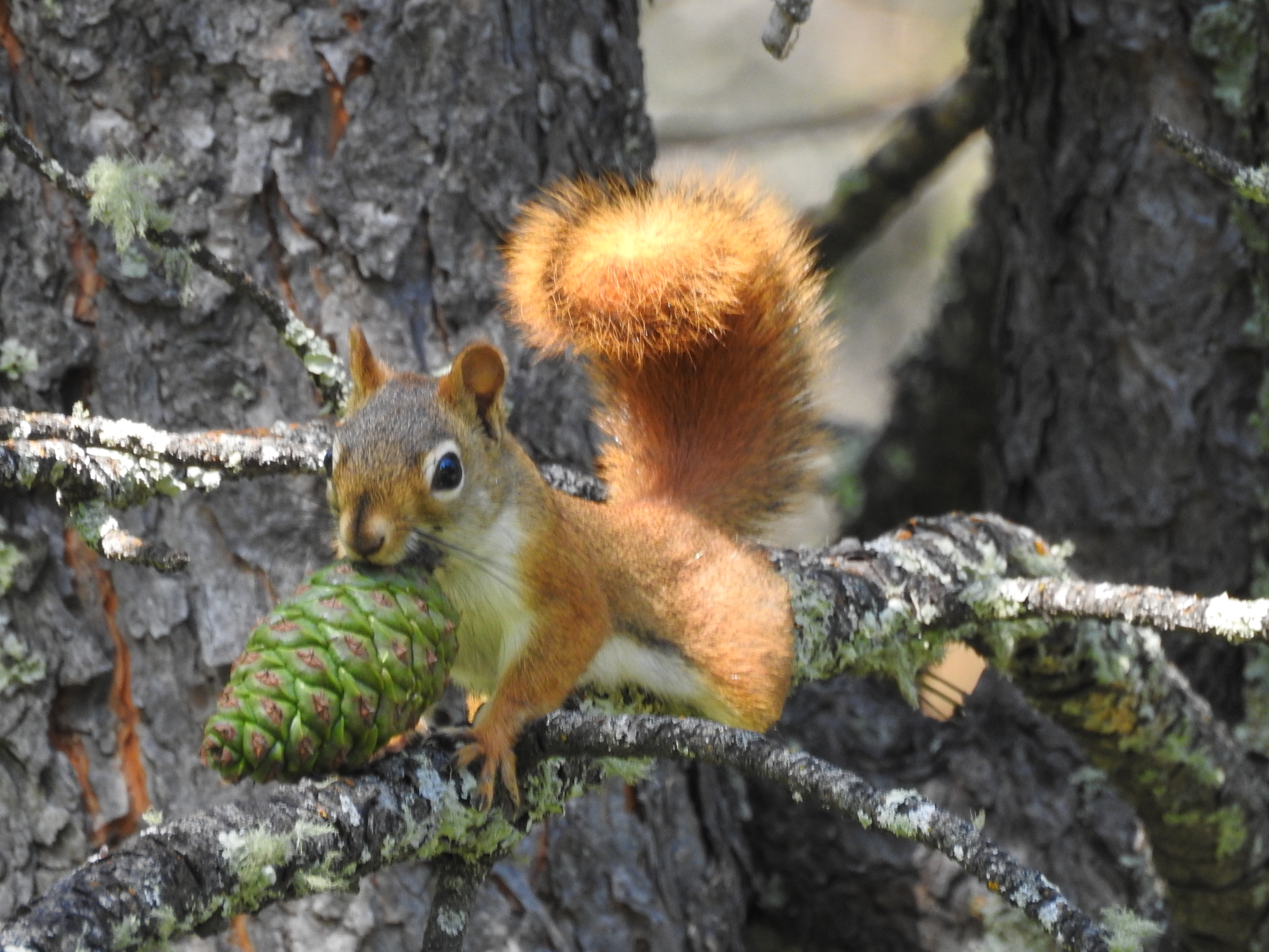 Red Squirrel Custer Mtn