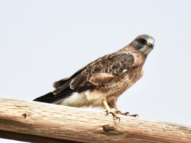 Swainson Hawk