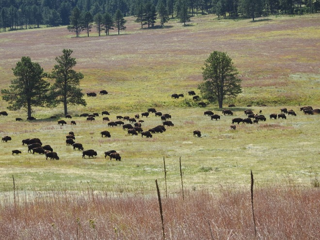 Wind Cave Buffalo